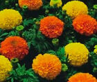 MARIGOLD CRACKERJACK MIX  Tagetes Erecta Bulk Flower Seeds + Free Seeds