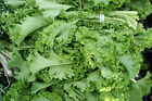 Mustard Greens 100 - 200  - 300  Seeds Southern Giant Curled Heirloom Seeds