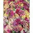 PHOLOX TAPESTRY MIXED SEALED PACKET SCENTED FLOWERS UNIQUE COLOURS FREEPOST