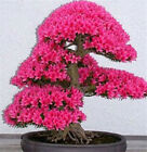 Planting japanese sakura Seeds  Bonsai Flower Plant Tree 10PCS Home Garden Yard