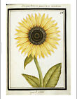 "ANONYMOUS ""Le Grand Soleil. Sunflower"" print NEW choose SIZE, from 55cm up, NEW"