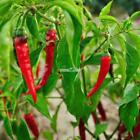20/50 Particle Vegetable Pepper Chili Seeds Potted Garden Plants RR6
