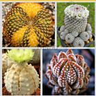 300 Rare Beauty Succulents Seeds Easy To Grow Potted Flower Seeds Bonsai Seeds
