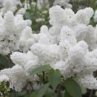 Lilac Seed White Japanese Lilac Flower Seeds Lilac Trees