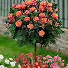 50 Orange Rose Seeds Fragrant Flower Seeds For Home Garden Planting Bonsai Tree