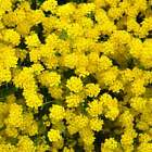 ALYSSUM BASKET OF GOLD SEEDS - PERENNIAL FLOWER GARDEN SEEDS - YELLOW BLOOMS