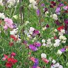 SWEET PEA FLOWER GARDEN SEEDS - KNEE HI MIX - ANNUAL FLOWER GARDENING SEEDS