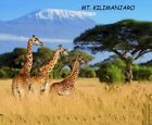 WITH MOUNT. KILIMANJARO IN THE BACKGROUND 3 GIRAFFS ARE FEEDING.