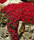Usa Red Creeping Phlox 25 To 200 Seeds (butterfly Garden) (ground Cover)