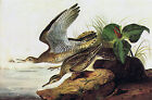 "Audubon - Upland Plover -by John James Audubon -20""x26"" Art on Canvas"