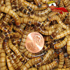 25ct to 250ct Live Super Worms, reptile bird fish fishing  (FREE SHIPPING)