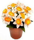 Narcissus Pot Plant (Small Daffodil) Silk Artificial Flowers Wedding Memorial