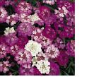 Candytuft, Dwarf Fairy Mix Flower Seeds - Fresh & Hand Packaged