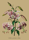 Lilium speciosum rubrum - botanical flower print in 3 sizes