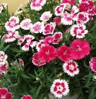 FD1700 Chinese Pink Dianthus Seed Carnation Flower Seeds Rare 1 Pack 50 Seeds G