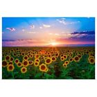Poster Print Wall Art entitled Sunset from sunflower field on eastern plains of