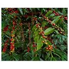Poster Text Wall Art entitled Kona coffee beans on the tree, Hawaii