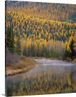 Premium Thick-Wrap Canvas Wall Art entitled Larch Trees r...