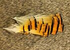 NATURE'S SPIRIT DYED SELECT GOLDEN PHEASANT TIPPET FEATHERS FLY TYING PICK COLOR