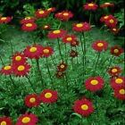 Outsidepride Chrysanthemum Robinson's Red Flower Seeds