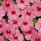 Outsidepride Impatiens Tempo Butterfly Strawberry Flower Seeds