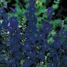 Outsidepride Larkspur Blue Spire Flower Seeds