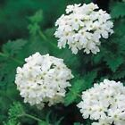 Outsidepride White Verbena Flower Seed