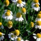 Outsidepride German Chamomile Herb Seeds