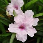 Outsidepride Mexican Petunia Pink Flower Seeds