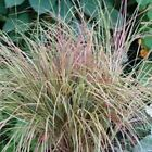 Outsidepride Stipa Sirocco Ornamental Grass Seeds