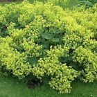 Outsidepride Lady's Mantle Flower Seeds