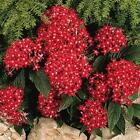 Outsidepride Pentas Red Flower Seeds