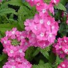 Outsidepride Verbena Rose Flower Seeds