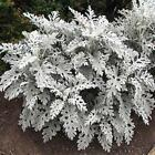 Outsidepride Cineraria Dusty Miller Silverdust Flower Seeds