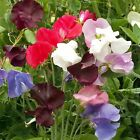 Outsidepride Annual Sweet Peas Mix Flower Seeds
