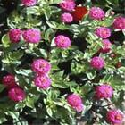 Outsidepride Zinnia Elegans Lilliput Purple Flower Seeds