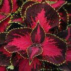 Outsidepride Coleus Chocolate Covered Cherry Flower Seeds