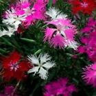 Outsidepride Dianthus Superbus Mix Flower Seeds