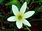 PURE WHITE GINGER LILLY ABSOLUTE OIL Hedychium coronarium NATURAL HERBAL AROMA
