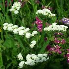 Outsidepride Statice White Flower Seeds