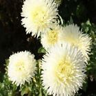 Outsidepride Aster Gremlin Yellow Flower Seeds