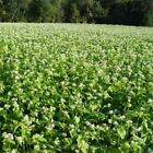 Outsidepride Buckwheat Cover Crop Seed