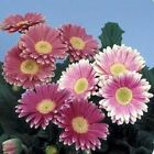 Outsidepride Gerbera Pink w/ Green Center Flower Seeds