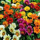 Outsidepride Gazania Garden Leader Mix Flower Seeds