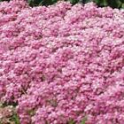 Outsidepride Alyssum Deep Pink Ground Cover Seeds