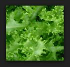 Endive, Green Curled Ruffec Fresh Hand-Packaged Seeds - NON -GMO