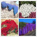100pcs/bag Creeping Thyme or Blue ROCK CRESS seeds Perennial Ground cover Exotic