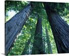 """""""Montgomery Woods State Reserve, California. Ancient redwoods"""" Canvas Art Print"""