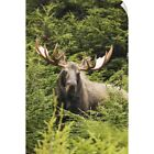 Wall Decal entitled Bull moose in rutting period, Powerline Pass, South-central