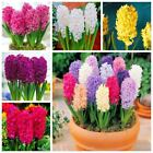 50 Pcs Real Hyacinth Green Plants Easy To Grow Bonsai Balcony Flower Seeds For H